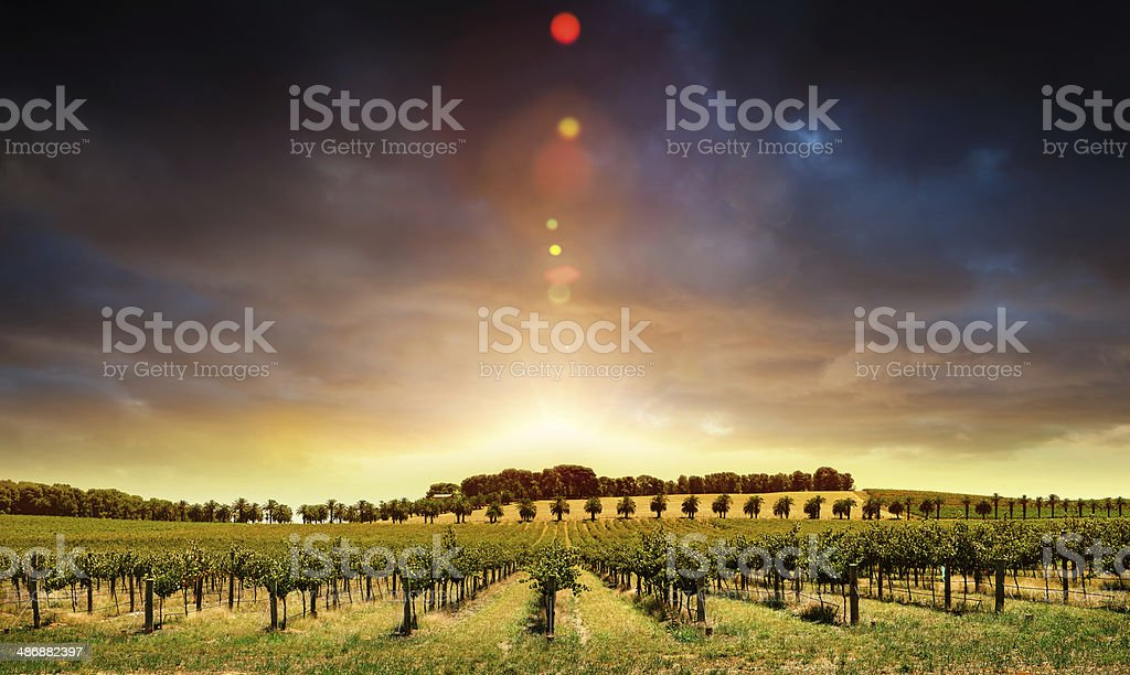 Sunset Vines stock photo