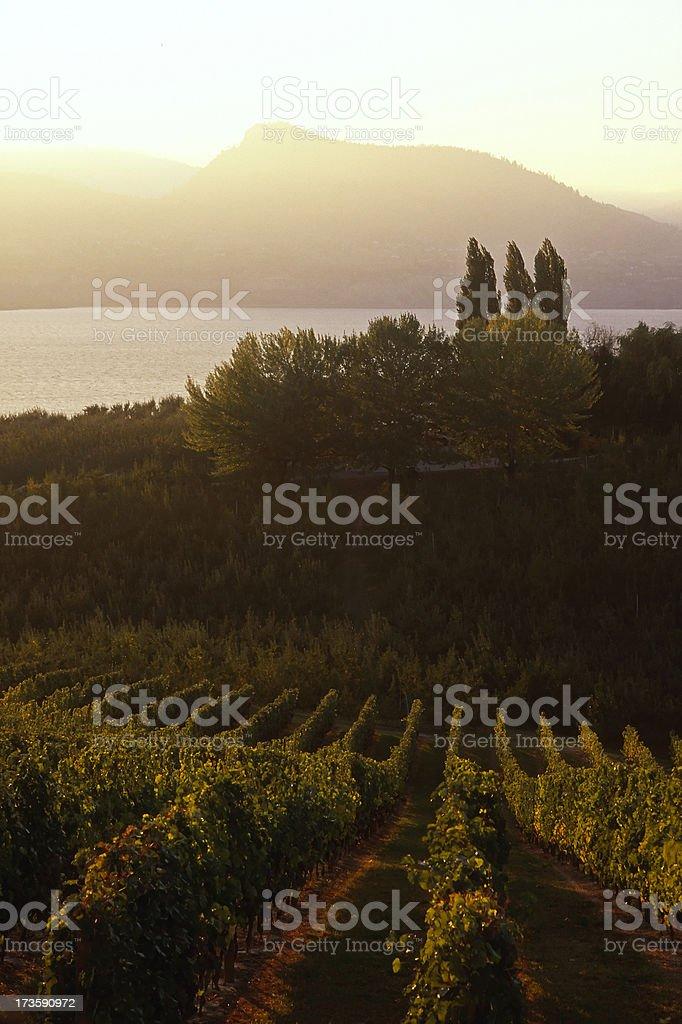 sunset vineyard naramata okanagan valley royalty-free stock photo
