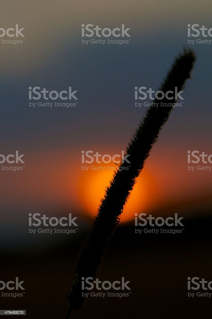 Sunset Wheat Detail stock photo