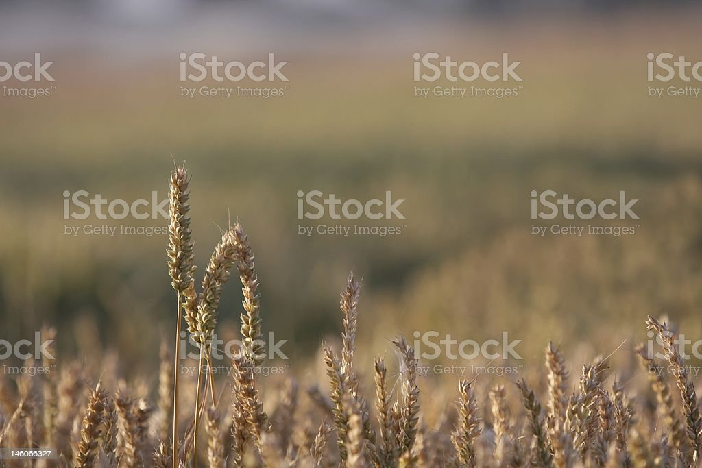 Sunset Wheat royalty-free stock photo