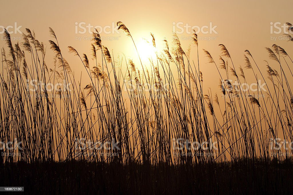 Sunset with a silhouette of reed. stock photo