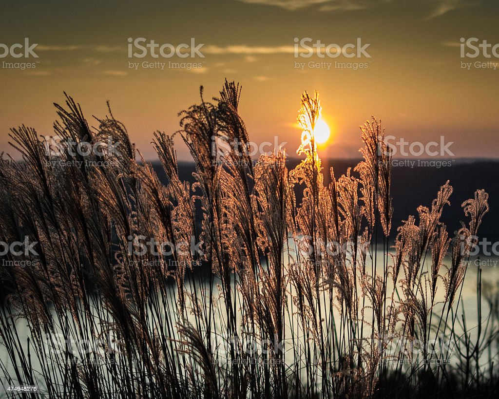 Sunset With Fountain Grass stock photo