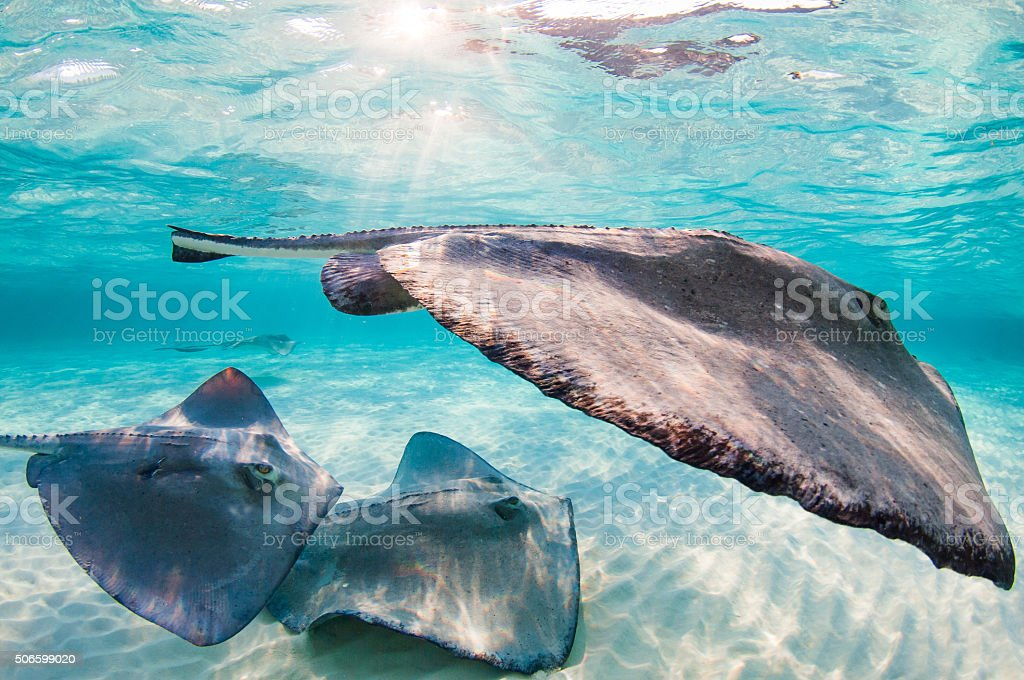 Sunset with stingrays. stock photo