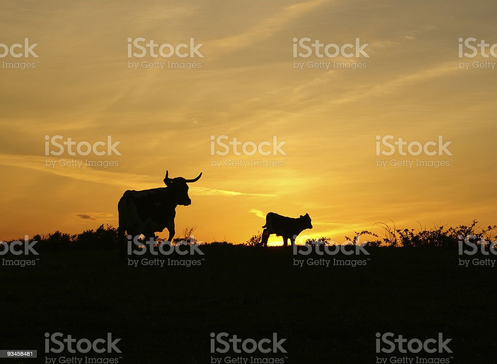 Sunset with two cows stock photo