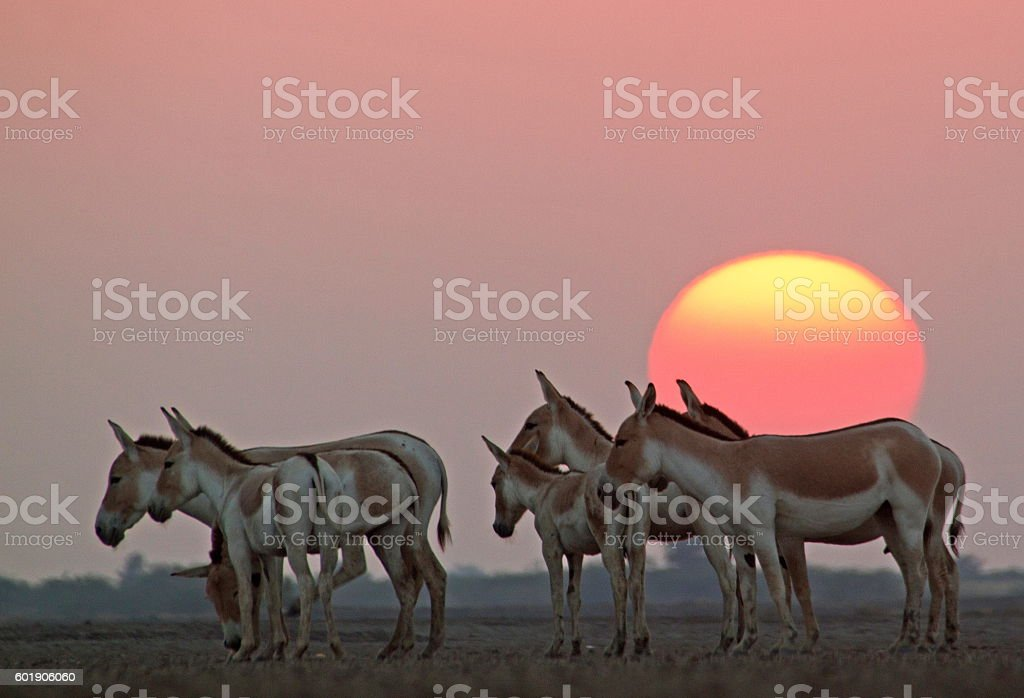 Sunset With Wild Ass stock photo