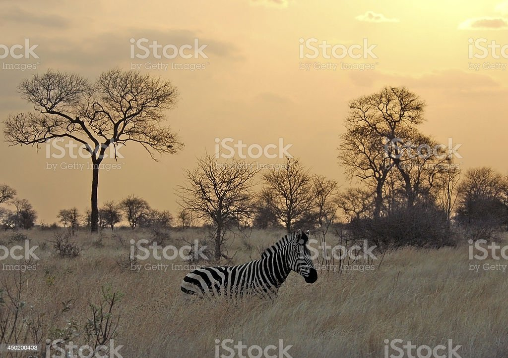 Sunset with Zebra in Africa stock photo