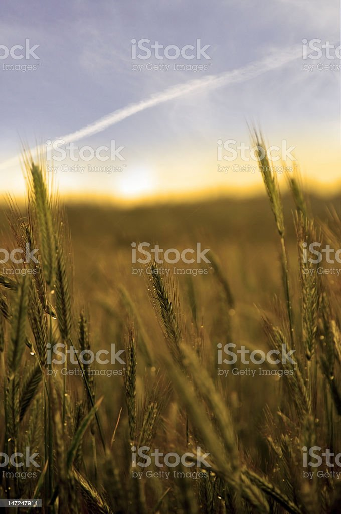 sunset/sunrise over a field of wheat royalty-free stock photo
