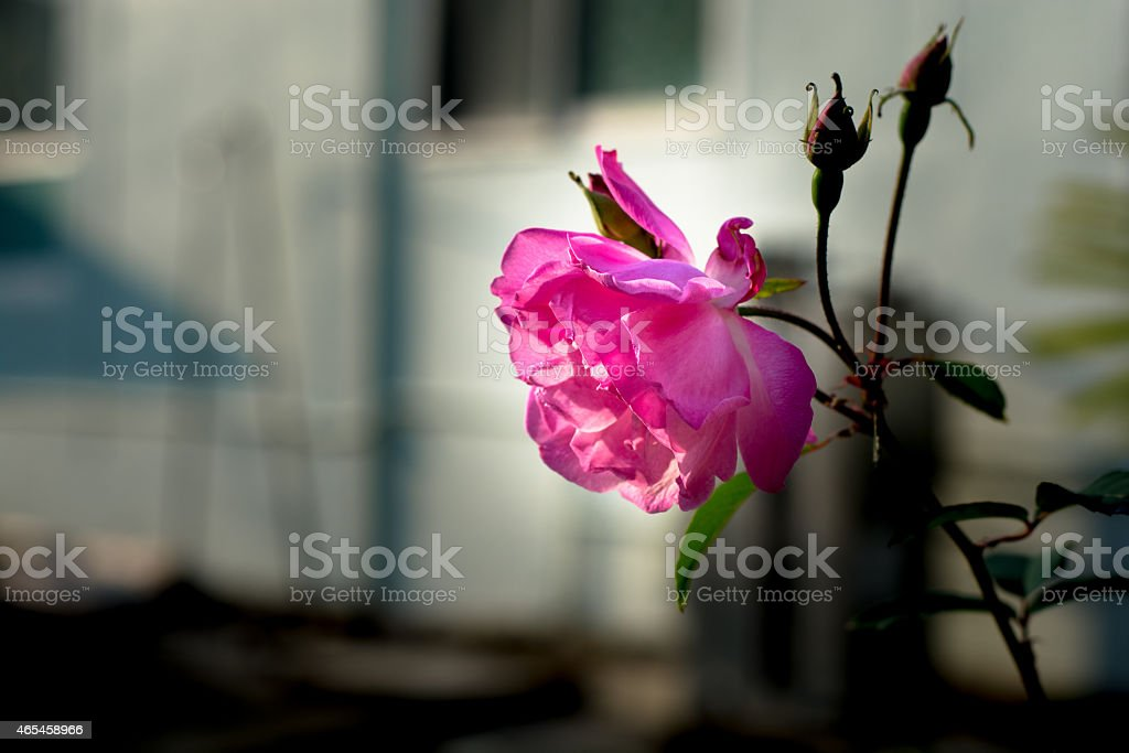 Sunshine and roses royalty-free stock photo