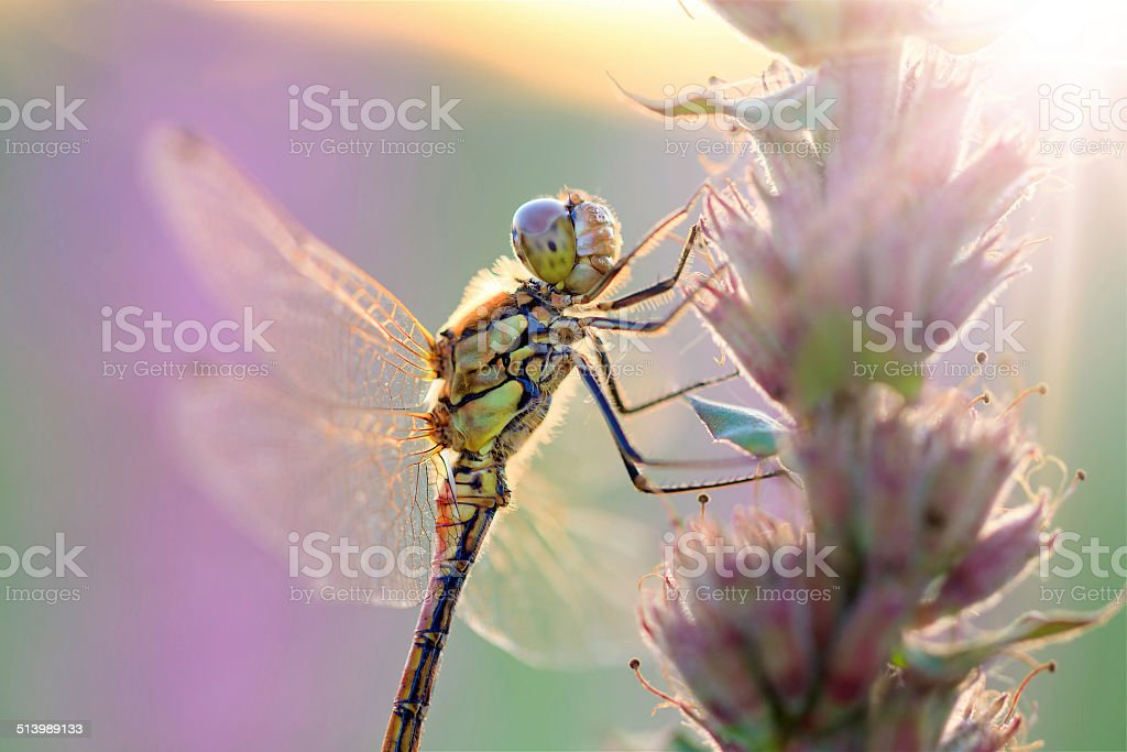 Sunshine Darter stock photo