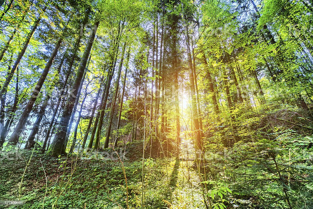 Sunshine in The Old Fairy Forest royalty-free stock photo