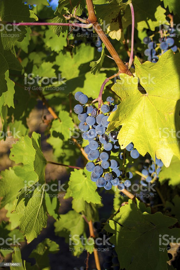 Sunshine on a bunch of grapes and vine stock photo