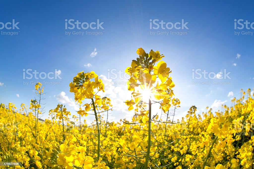 sunshine on yellow rapeseed oil flower field stock photo