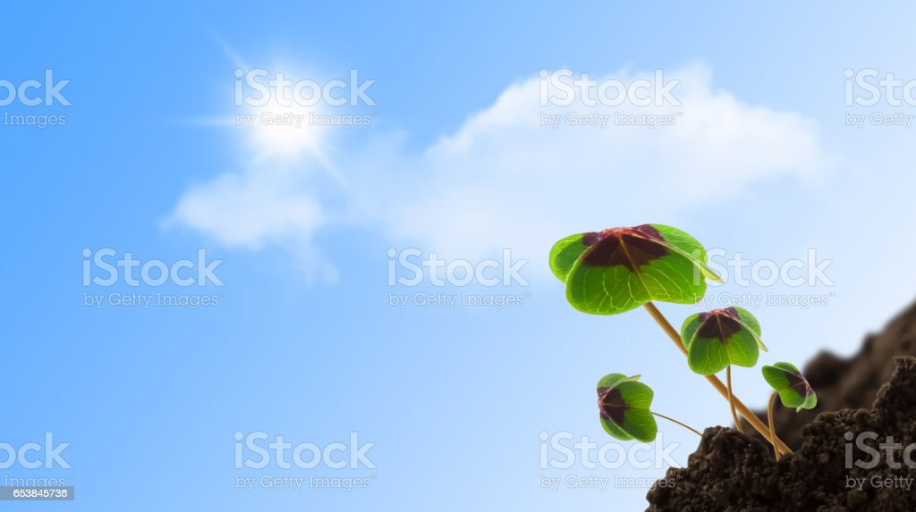 sunshine on young clover plants stock photo