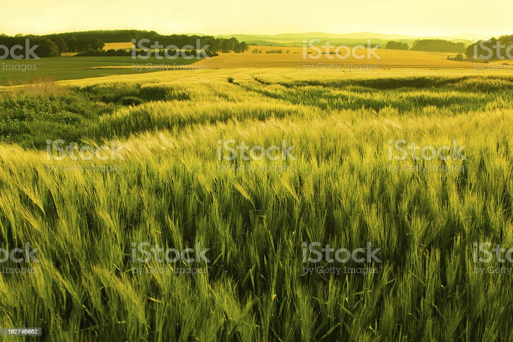 sunshine over a wheat field stock photo