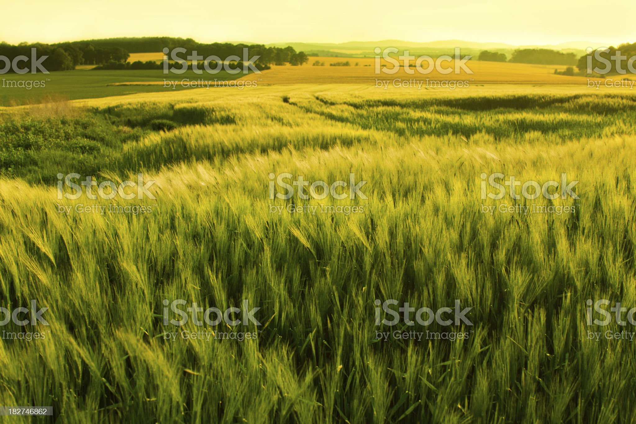 sunshine over a wheat field royalty-free stock photo