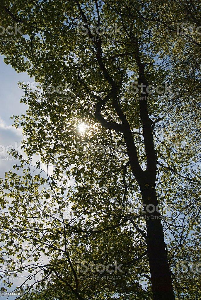 Sunshine through leafs of black alder tree in german landscape stock photo