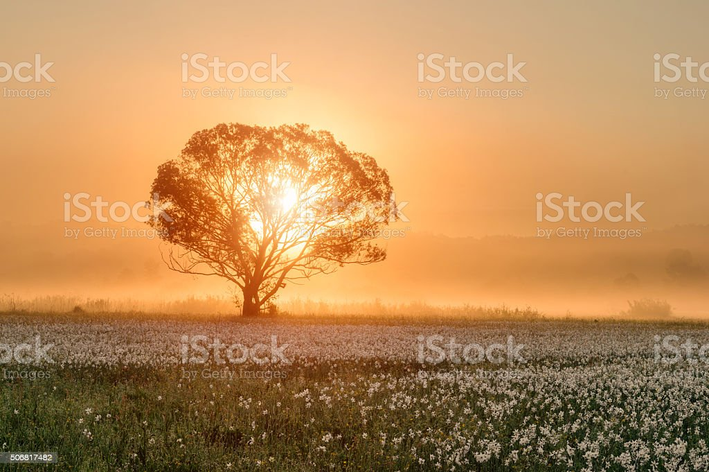 Sunshine tree at the field of flowers stock photo
