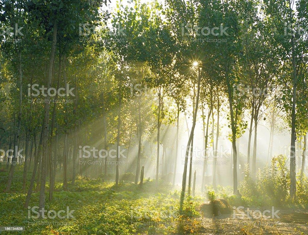 Sunshine Tree royalty-free stock photo