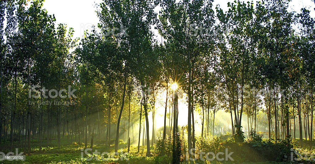 Sunshine Tree royalty-free stock photo