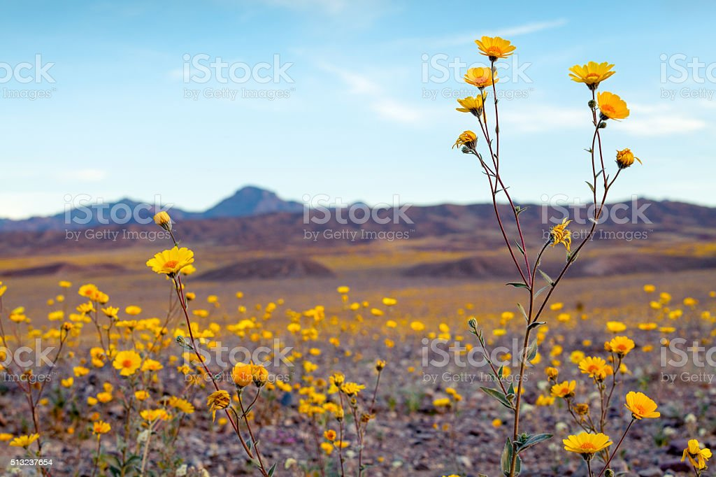 Super Bloom Of Desert Gold Wildflowers, Death Valley royalty-free stock photo