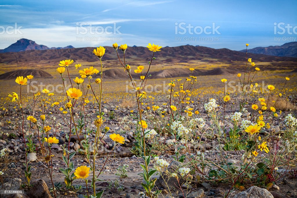 Super Bloom Of Desert Gold Wildflowers, Death Valley stock photo