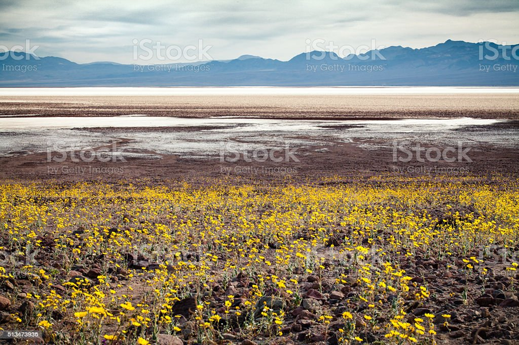 Super Bloom Of Desert Wildflowers, Badwater Basin, Death Valley royalty-free stock photo