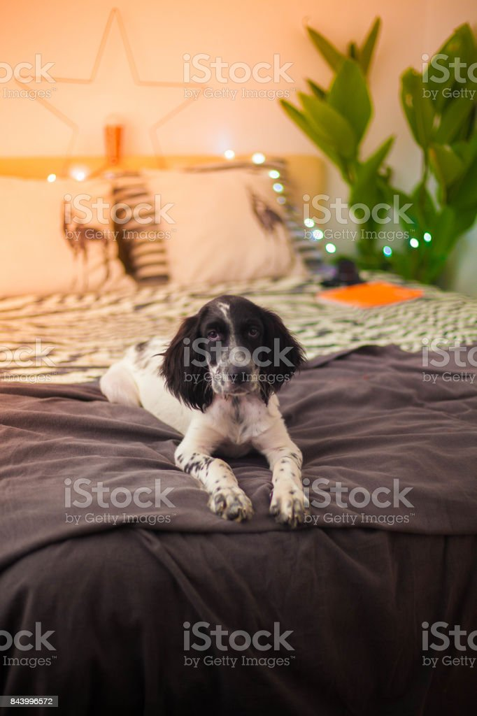 Super cute puppy on the bed stock photo