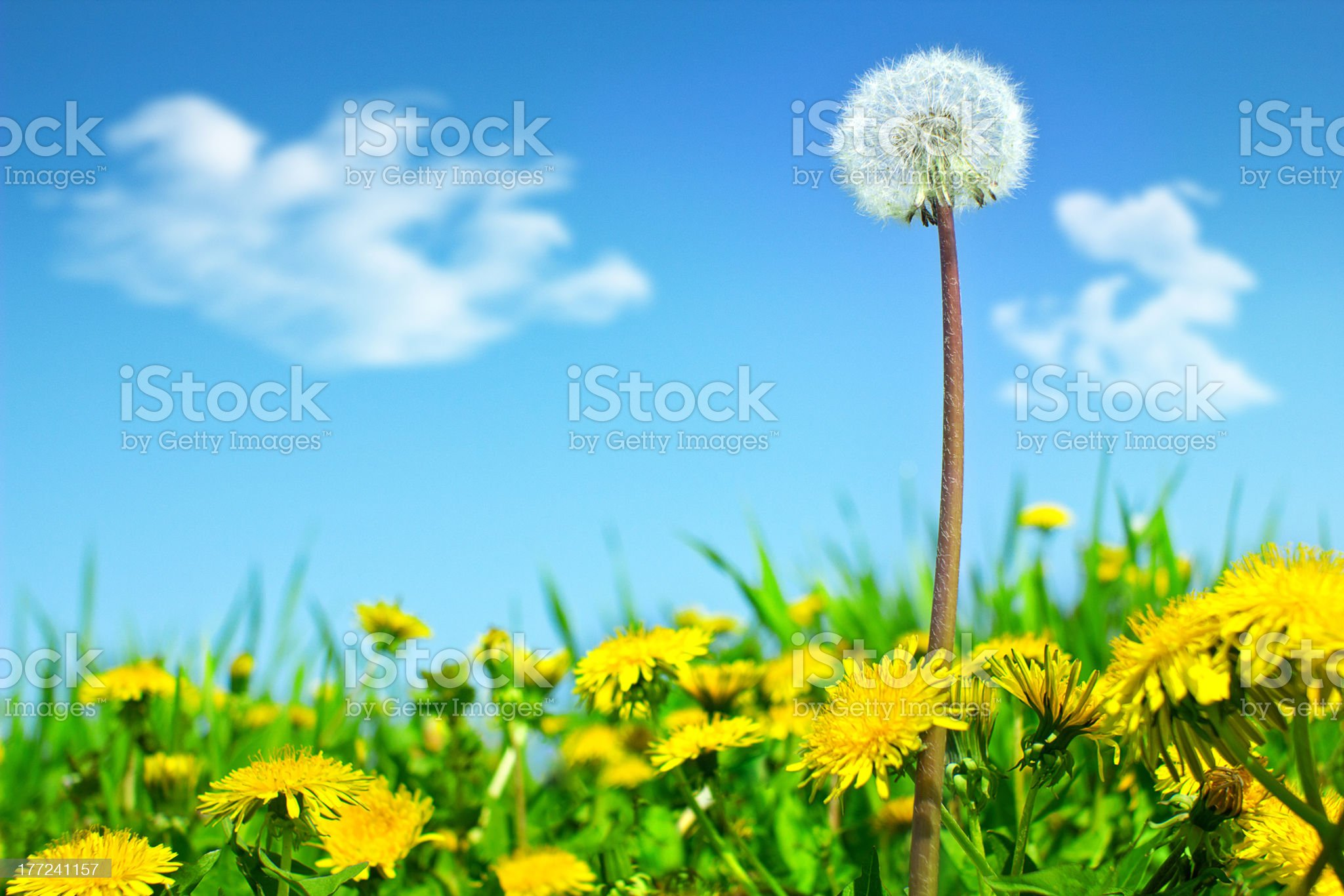 Super Dandelion royalty-free stock photo