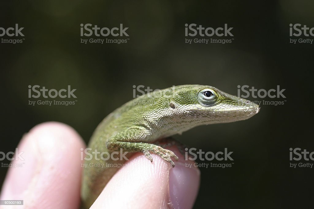 Super Green Lizard royalty-free stock photo