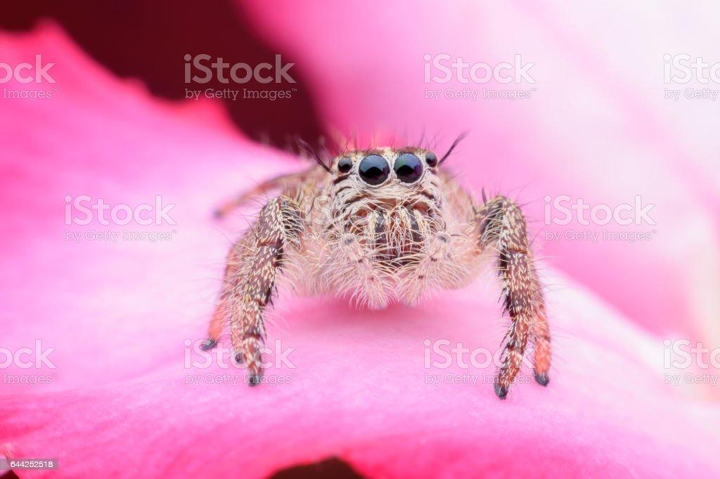Super macro female Hyllus diardi or Jumping spider on Desert Rose stock photo