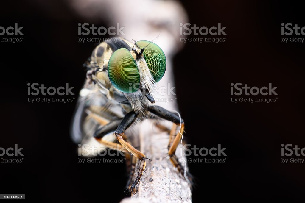 Super macro Robber fly on branch stock photo