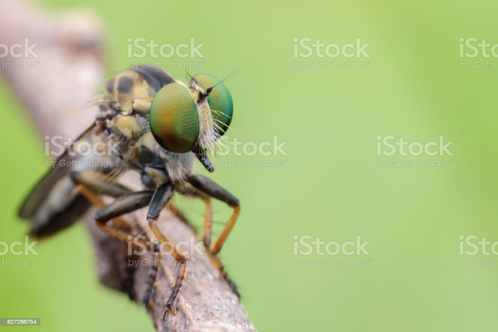 Super macro Robber fly on branch with green background stock photo