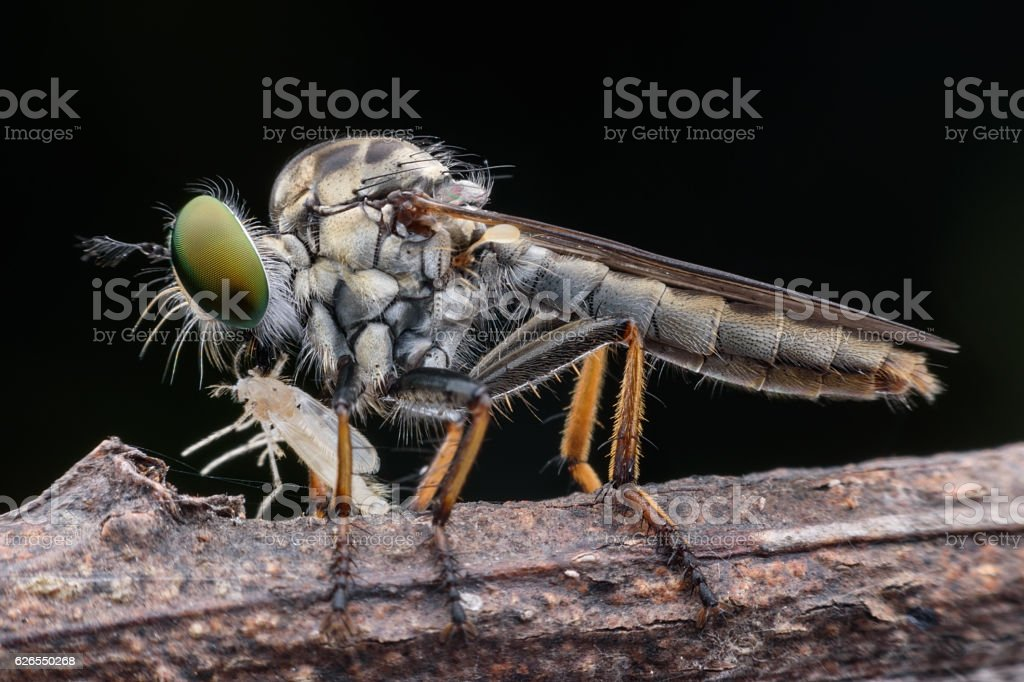 Super macro robber fly with prey stock photo