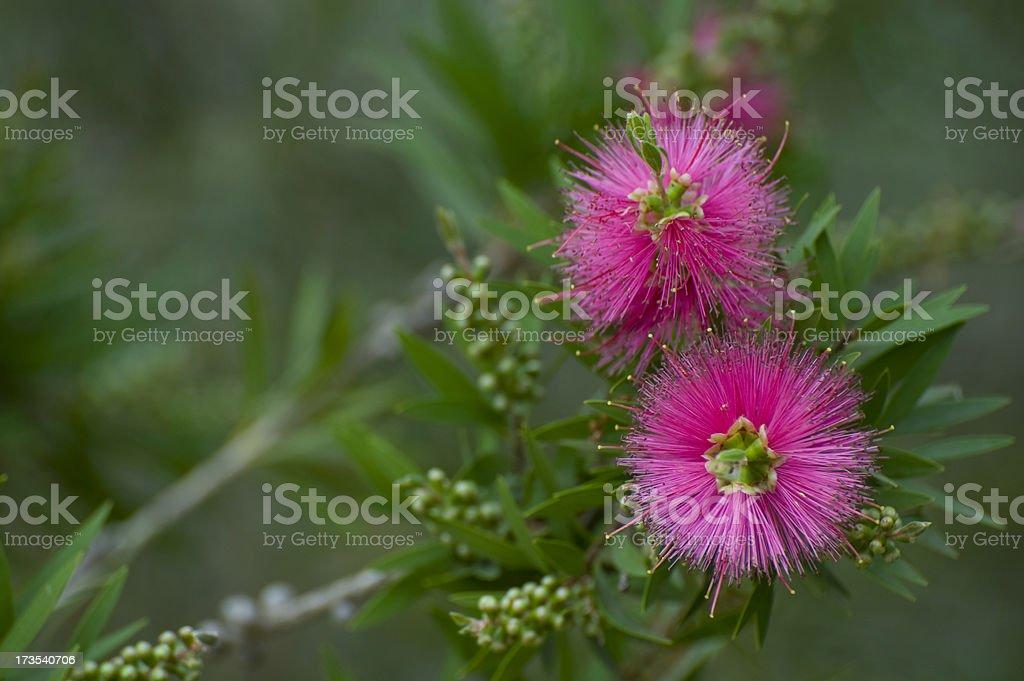 Super pink bottlebrush stock photo