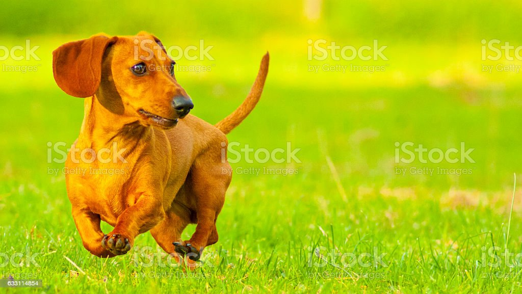 A Miniature Smooth Haired Dachshund running fast. The colour of the...