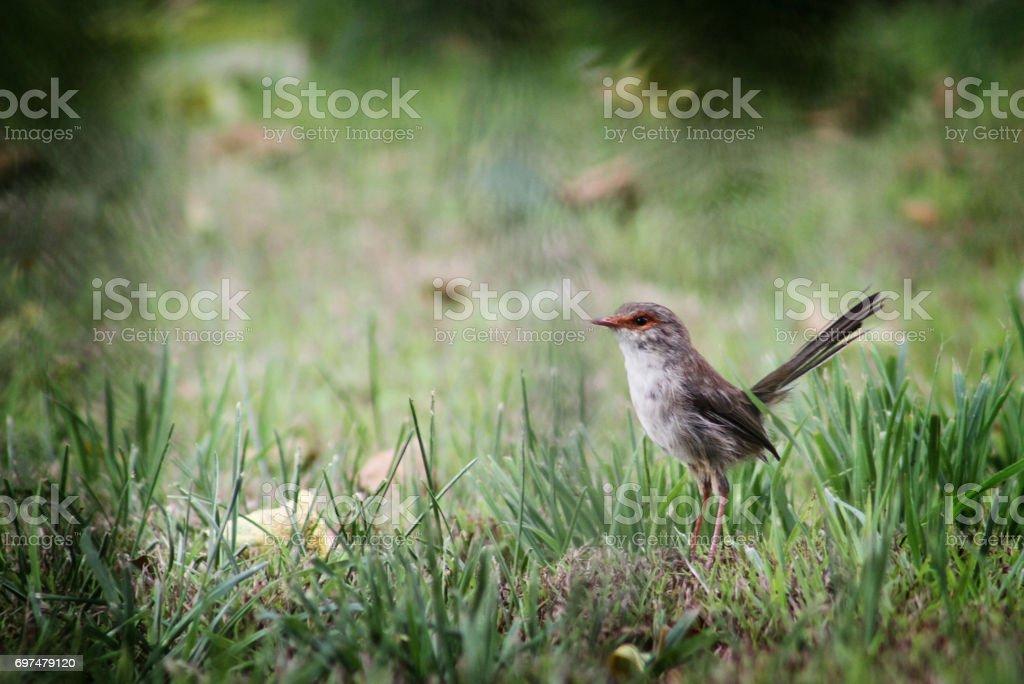 Superb Fairy Wren stock photo