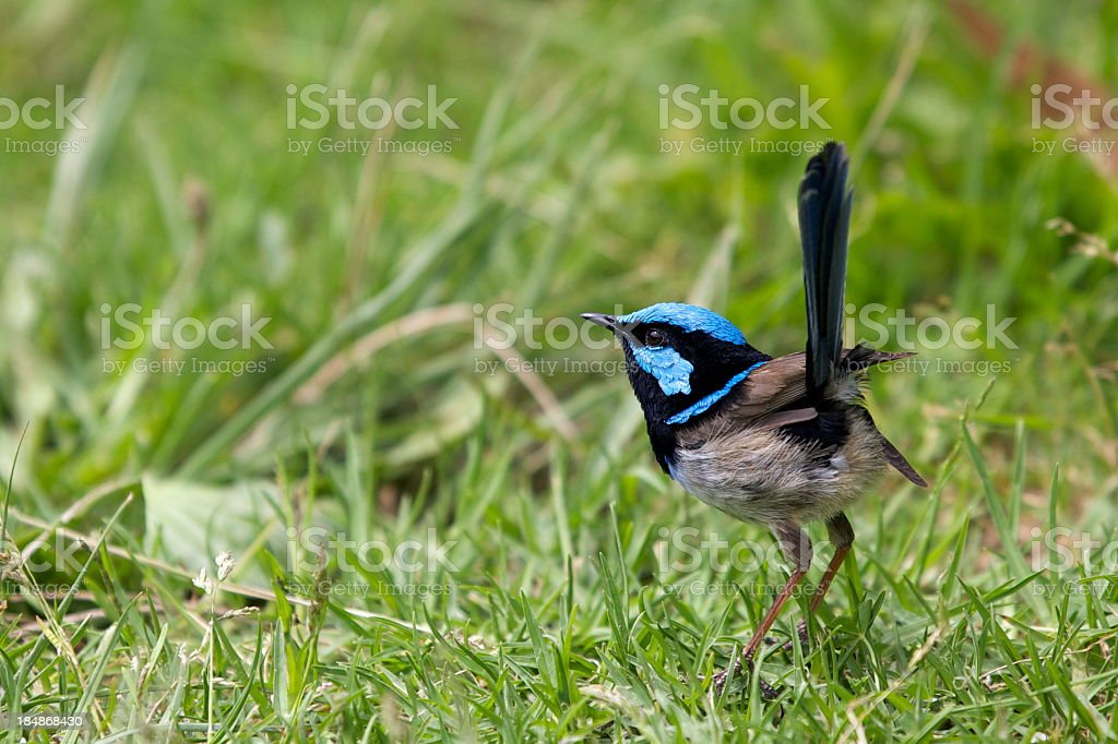 Superb Fairy-wren looking for worms in the grass stock photo