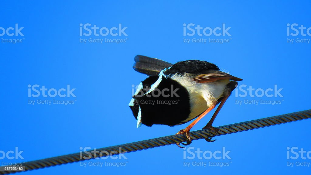 Superb Fairy-wren stock photo