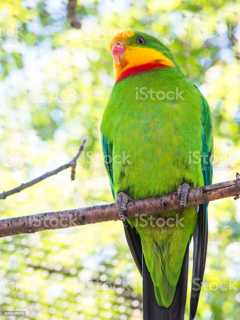 superb parrot Polytelis swainsonii on a branch at the zoo stock photo
