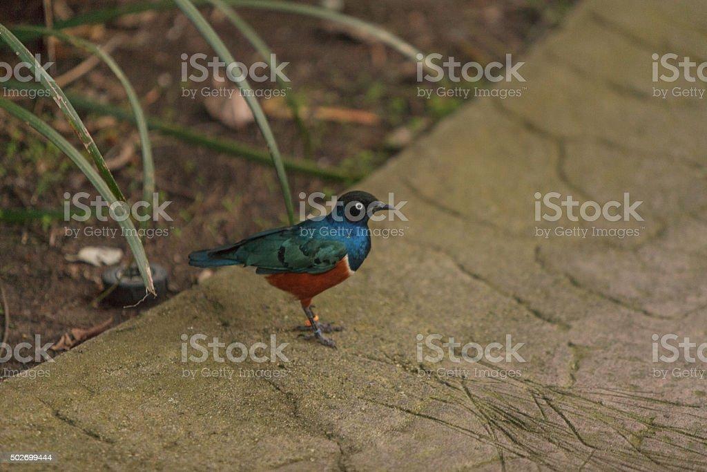 Superb starling, Lamprotornis superbus, bird stock photo