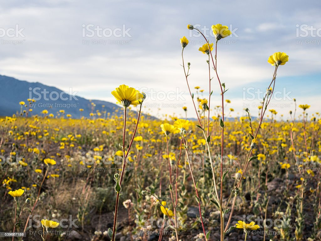 Superbloom Wildflowers in Death Valley National Park, California stock photo