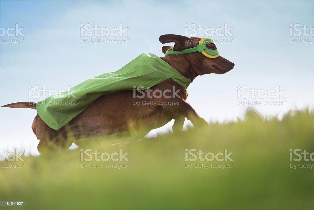Superhero Dachshund dog running up hill stock photo