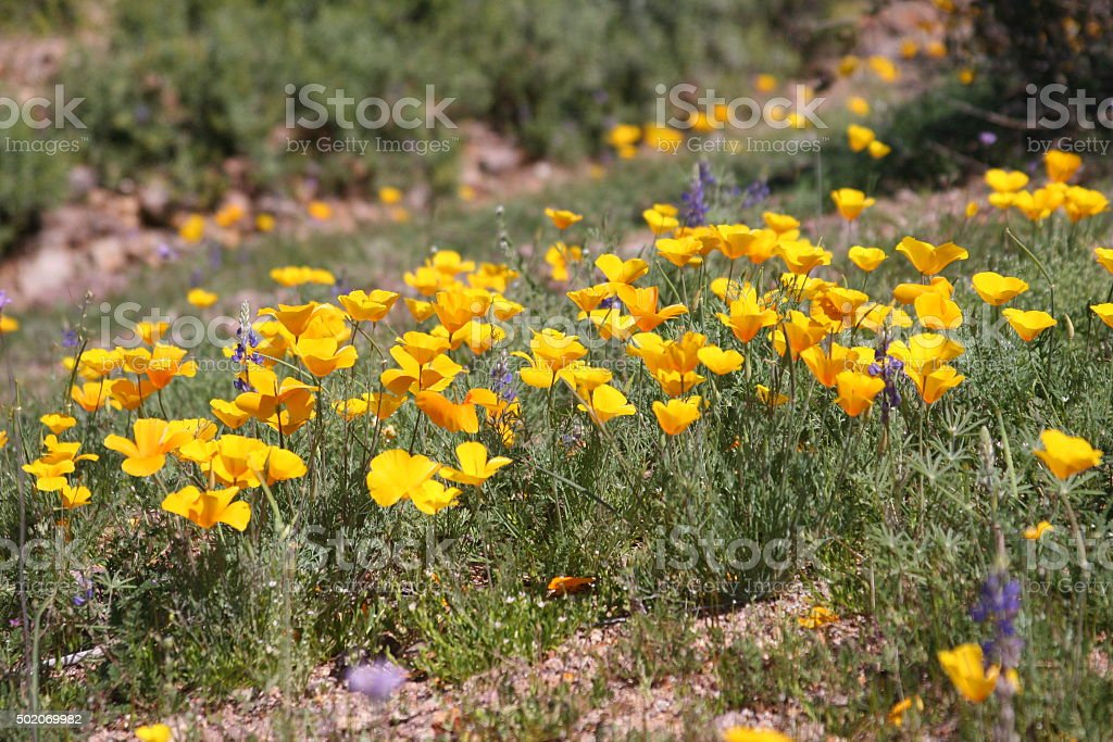 Superstition Mountains Wilderness Blanketed with Spring Flowers stock photo