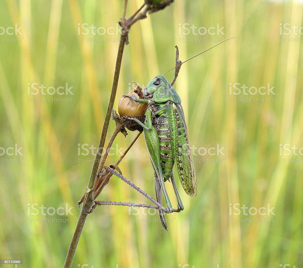 Supper of a locust royalty-free stock photo