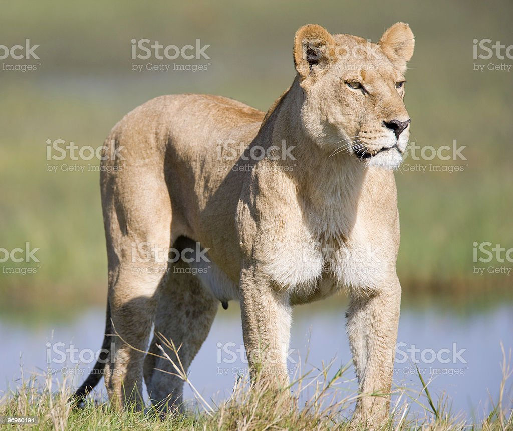Supreme Lioness royalty-free stock photo