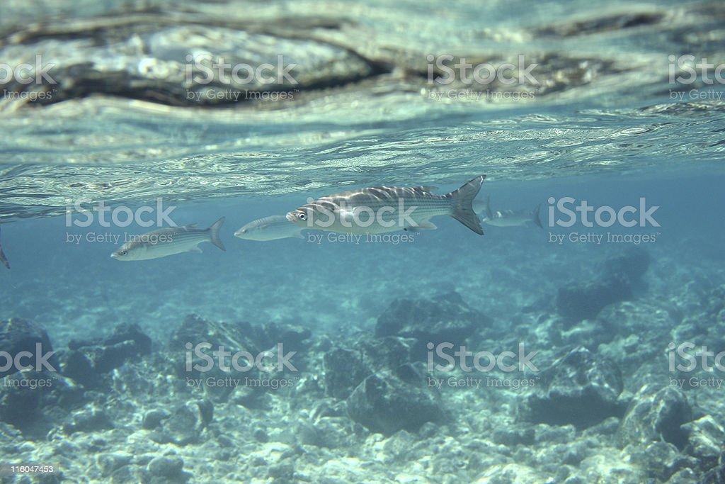Surface Fish stock photo