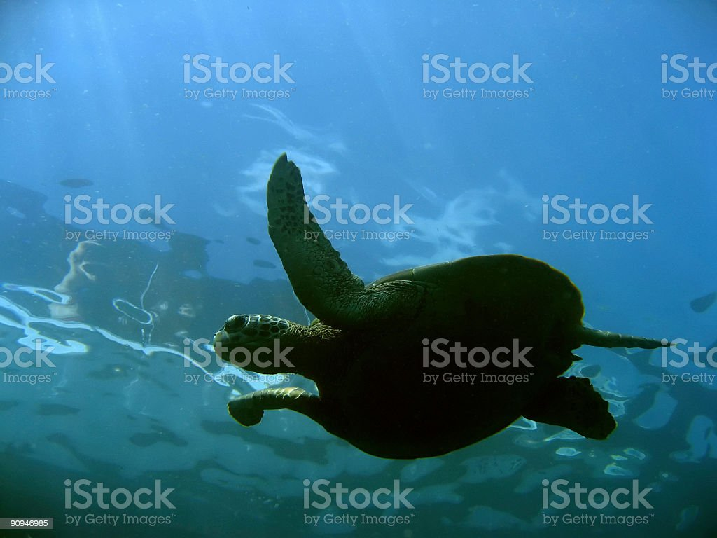 surface turtle royalty-free stock photo