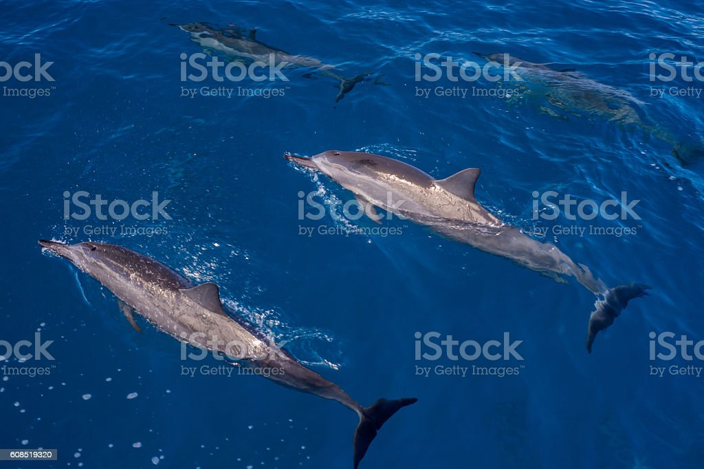 surfacing and submerged, hawaiin spinner dolphins stock photo