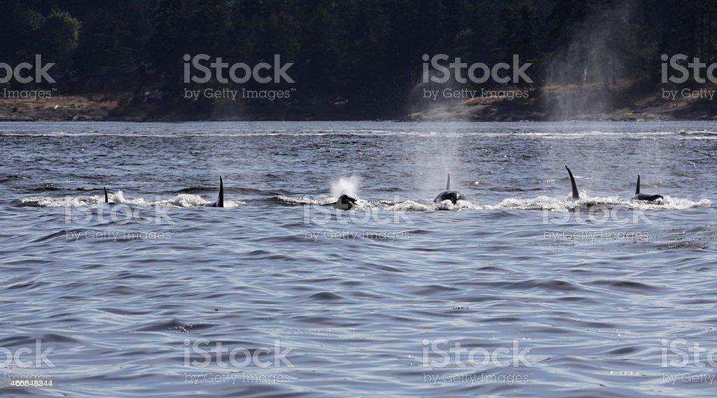 Surfacing Killer Whale Pod stock photo