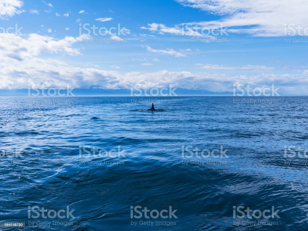 Surfacing Orca Near San Juan Islands, Washington stock photo